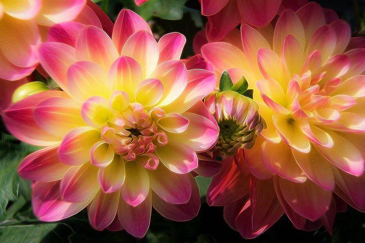 عکس گل کوکب با کیفیت بالا