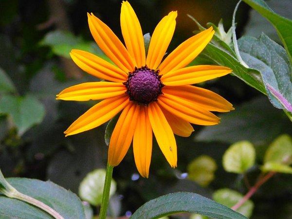 عکس گل کوکب کوهی زرد
