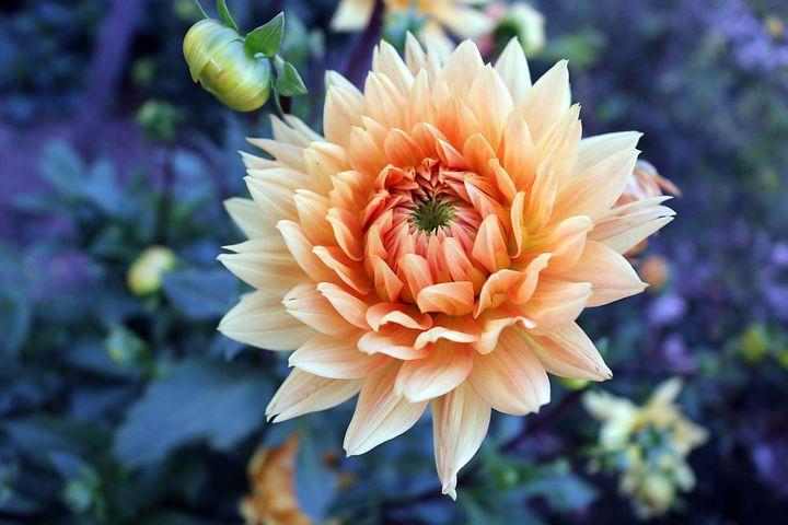 عکس گل کوکب زرد کم رنگ