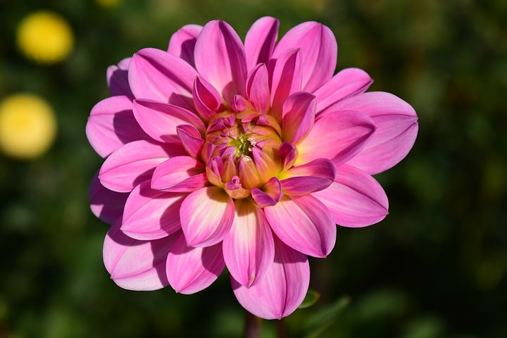 عکس گل کوکب در طبیعت