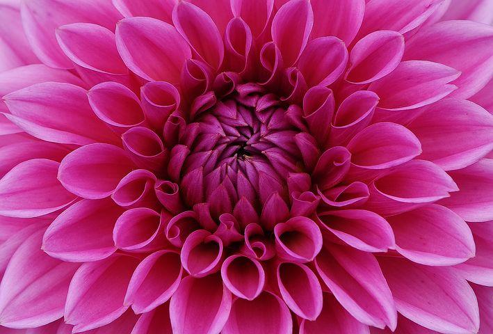 عکس گل کوکب هلندی