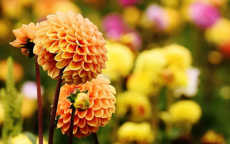 عکس گل کوکب زرد