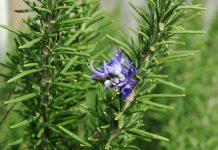 عکس گل و گیاه رزماری