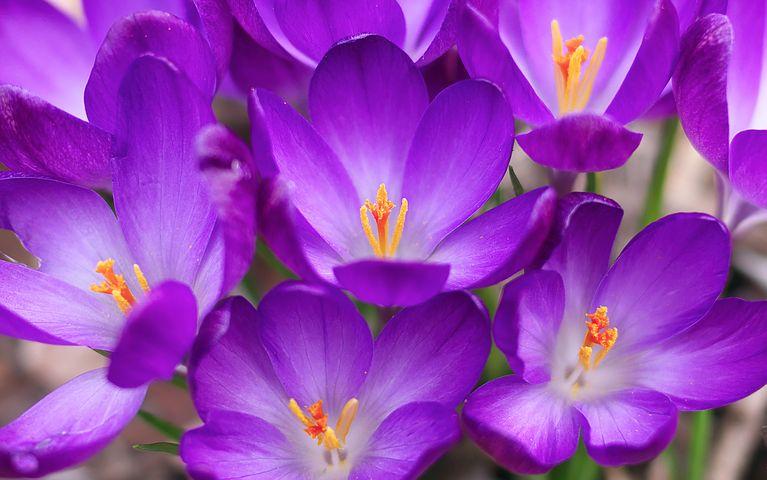 عکس گل زعفران