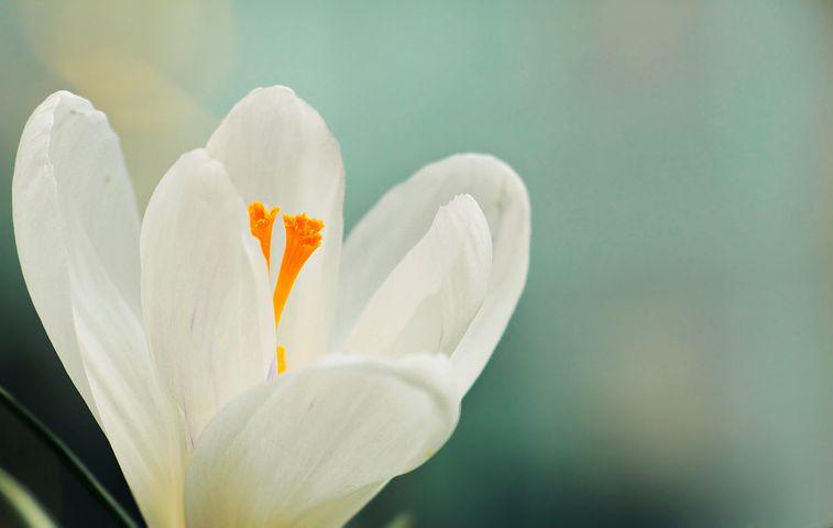عکس گل زعفران سفید