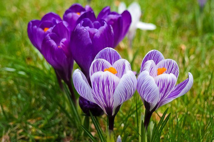 تصاویر گل زعفران