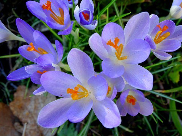عکس نمای نزدیک گل زعفران