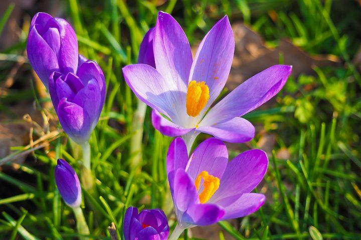 عکس گل زعفران بنفش