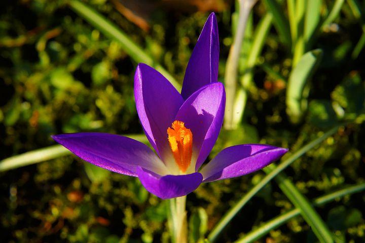 دانلود عکس گل زعفران