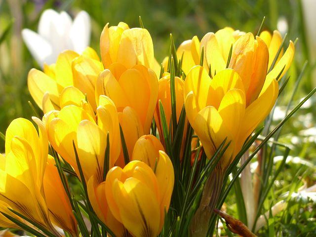 عکس گل زعفران زرد در طبیعت