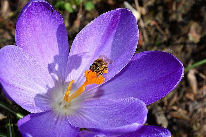 عکس گل زعفران با کیفیت بالا