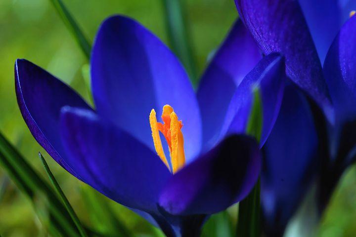 عکس زیبا از گل زعفران