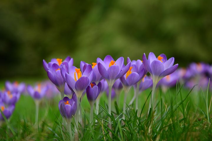 گل های زعفران در طبیعت