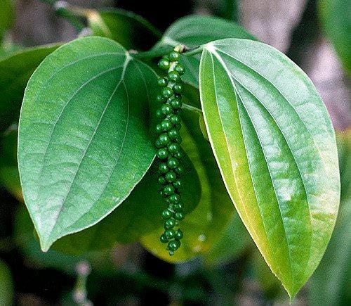 عکس گیاه فلفل