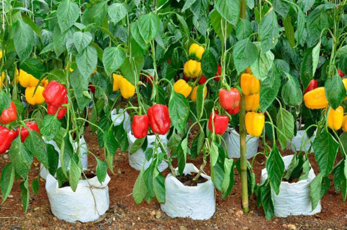 عکس گیاه انواع فلفل دلمه ای سبز، زرد و قرمز