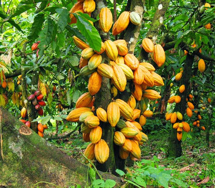 عکس درخت کاکائو