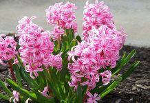 عکس گل سنبل هفت سین عید نوروز