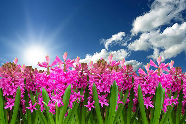 عکس مزرعه گل های سنبل صورتی