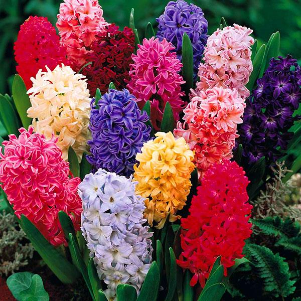 عکس گل های سنبل زرد و قرمز و سفید و نارنجی و آبی