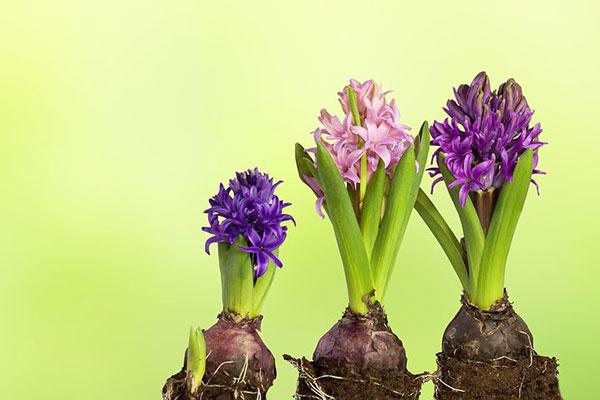 عکس پیازچه گل های سنبل جوان