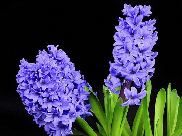 عکس گل سنبل آبی