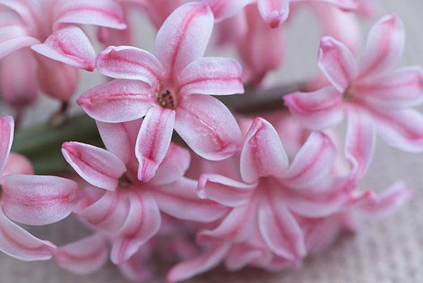 عکس گل سنبل صورتی با کیفیت بالا