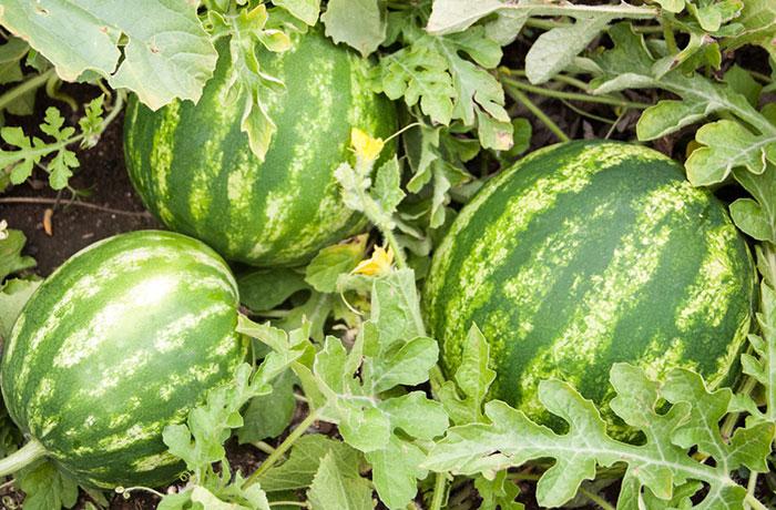 بوته میوه هندوانه