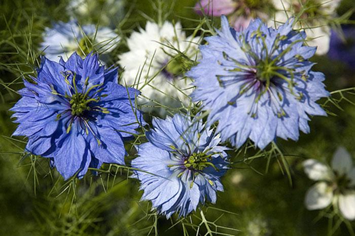 عکس گل های گیاه سیاه دانه