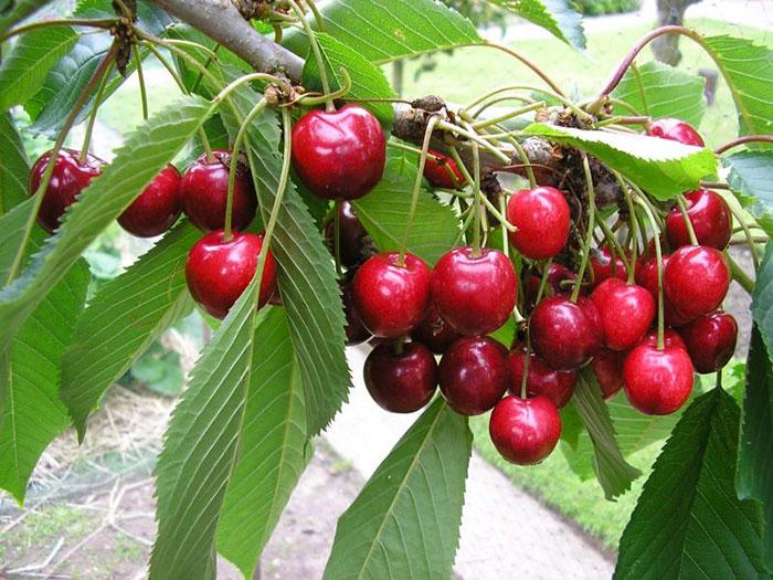 عکس میوه درخت گیلاس