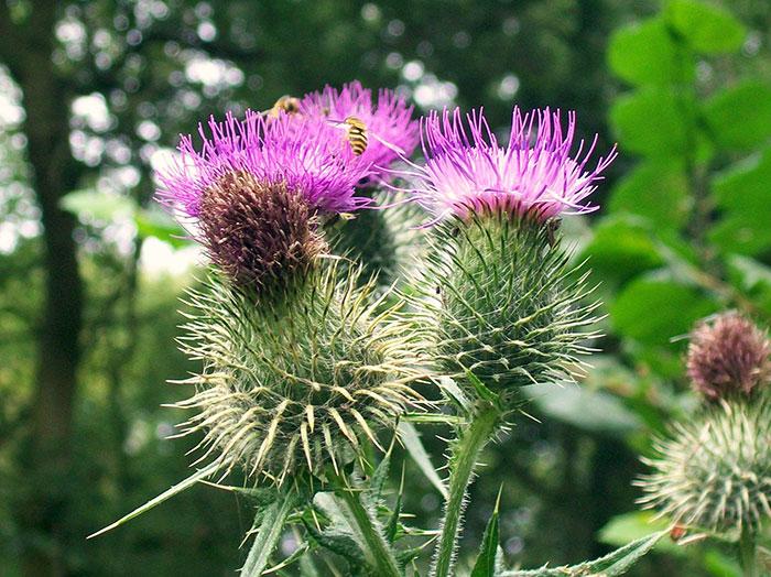 عکس گیاه کنگر صحرایی