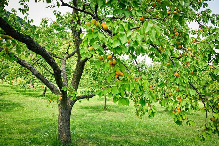 عکس درخت و میوه زردآلو