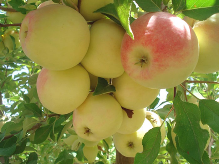 عکس درخت سیب گلاب