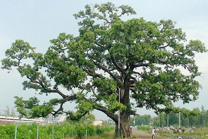 عکس درخت هلیله سیاه
