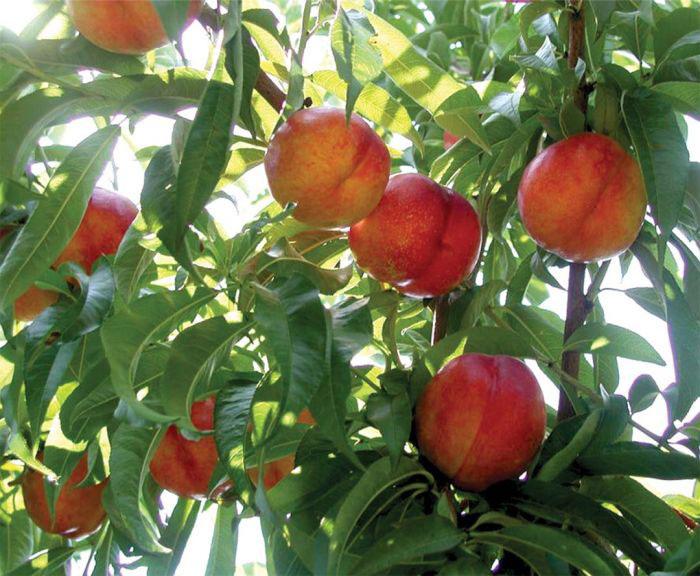 عکس درخت میوه شلیل