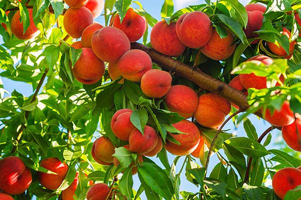 عکس درخت هلو