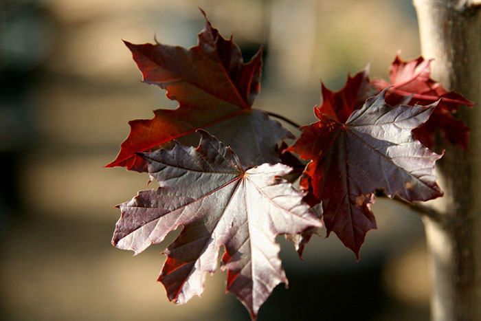 عکس برگ درخت افرا سلطنتی قرمز و سیاه