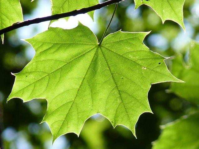 برگ سبز درخت افرا