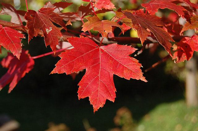 عکس برگ درخت افرا سرخ