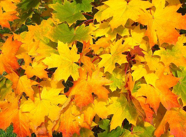 عکس برگ پاییزی درختان افرا