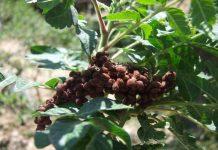 عکس میوه درخت سماق