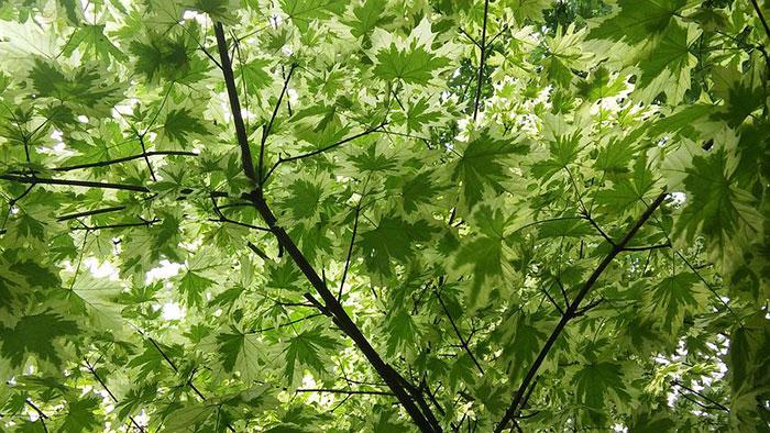 عکس درخت افرا ابلق