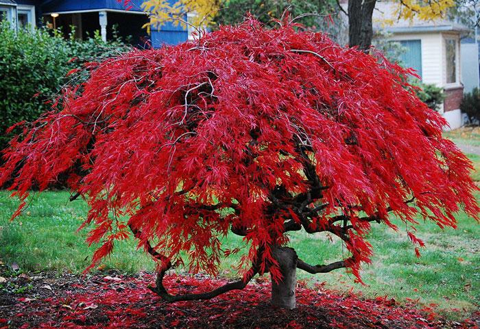 عکس درخت افرا مینیاتوری ژاپنی