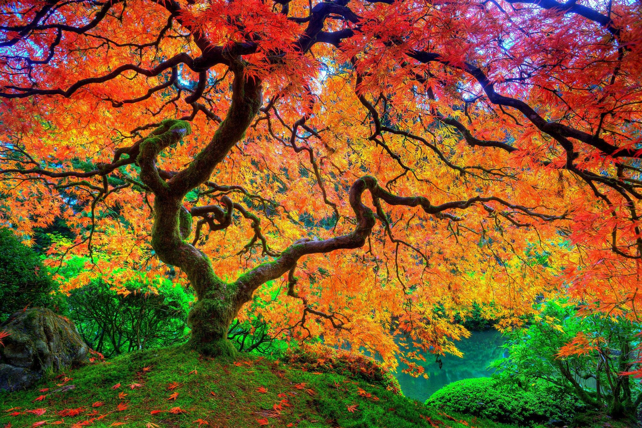 عکس و والپیپر درخت افرا