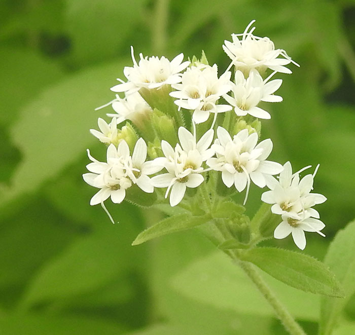 عکس گل های استویا