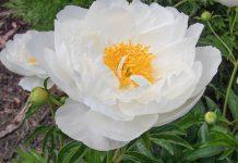 عکس گل صد تومانی چینی سفید
