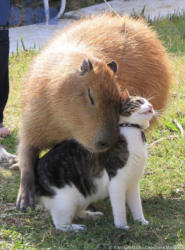 گری برگچه خوار(کاپی بارا) و فلاپسی گربه