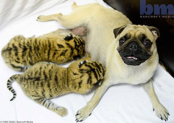 کاپا و آسیا سگ های پاگ و توله ببر ها