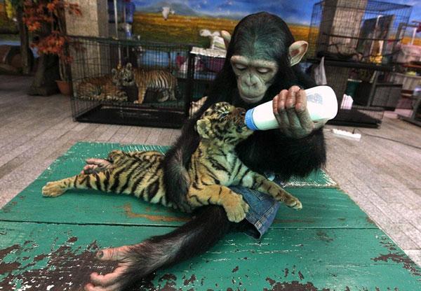 دودو شامپانزه و آرون توله ببر