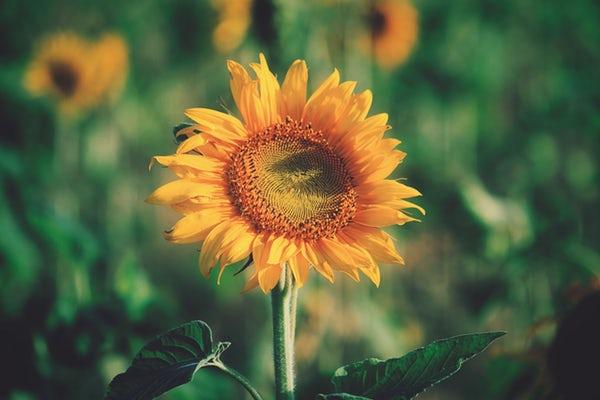 شعر گل آفتابگردان