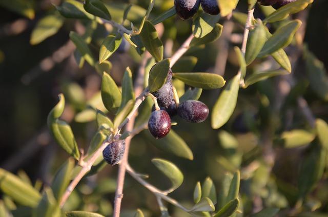 عکس درخت زیتون وحشی